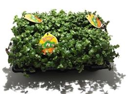 6 x Golliwoog - Futterpflanze für Bartagamen, Vögel , Meerschweinchen, Kaninchen - 1